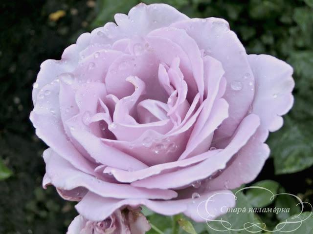 роза Sissy, розарий, сочетания роз, розы фото, розы в саду, цветники с розами