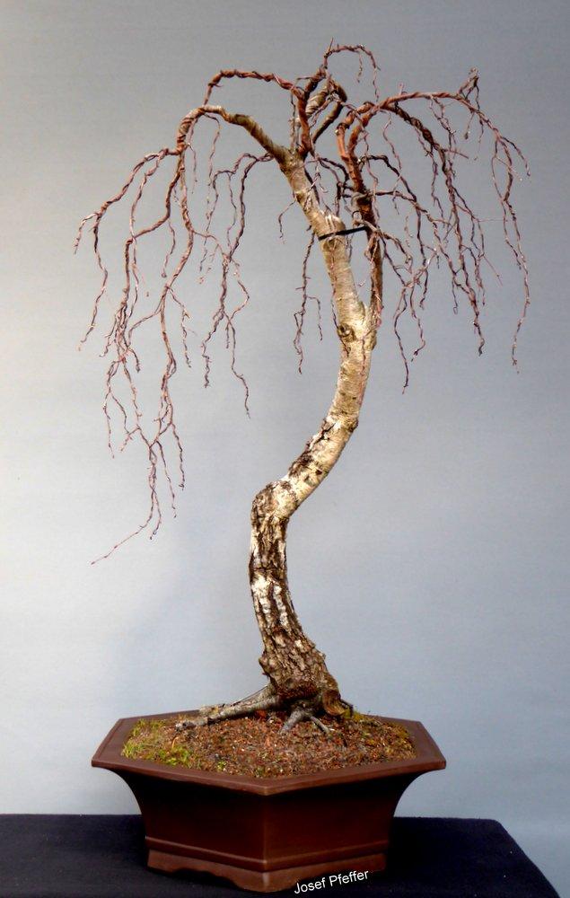 Jupp s bonsai blog birke zu verkaufen oder tauschen for Bonsai versand