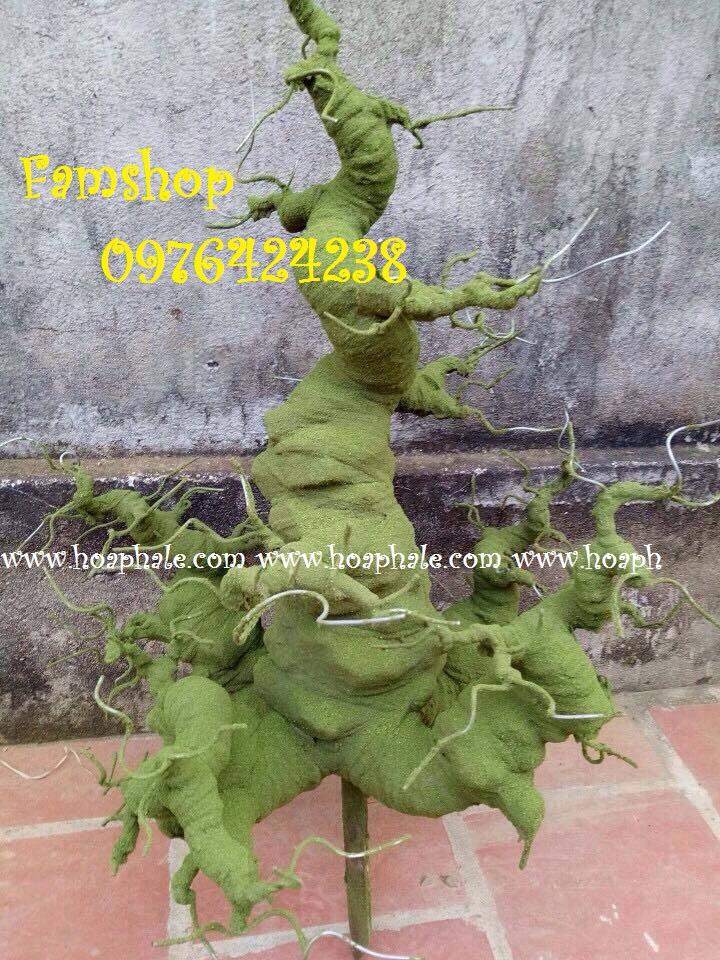 Goc bonsai mai dao tai Hoang Sam
