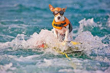 animals water funny sports extreme surfing dog awesome animal sport waterskiing skiing dogs doing badass vancouverscape summer funnyjunksite pets beach