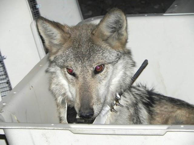Vuelven a escucharse en territorio nacional los aullidos del lobo mexicano