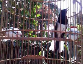 solusi burung kacer