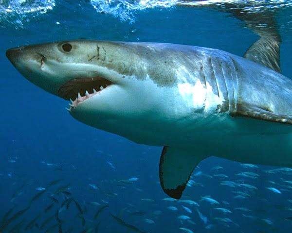 Nounou pascale le peuple des oc ans dvd - Dessiner un requin blanc ...