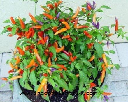 Capsicum Annuum Solanaceae Ornamental Pepper Plant IMAGE