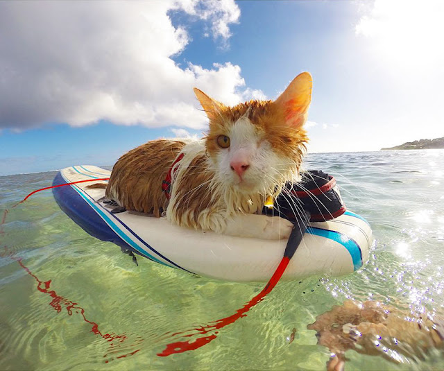 An Amazing One-Eyed Cat Who Loves to Swim and Surf in the Waters of Honolulu, Hawaii