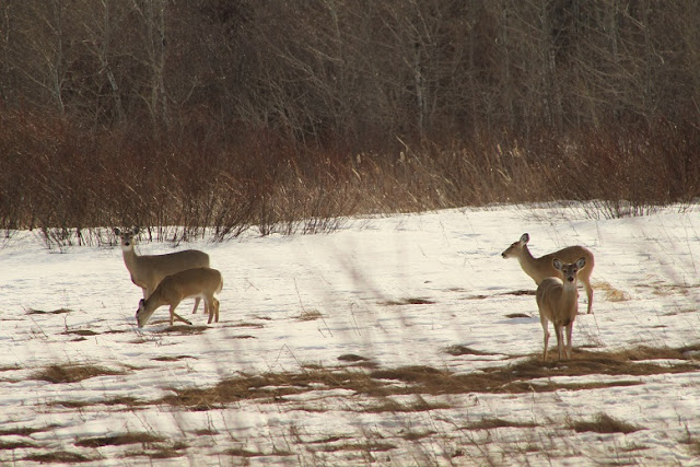 Deer enjoying the bare patches of ground