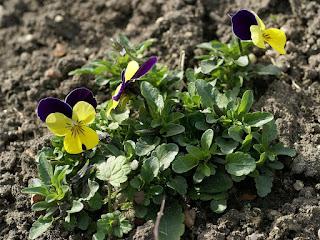 Viola cornuta Penny