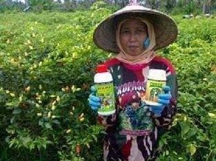 Trik Dan Cara Pengendalian Penyakit Patek Pada tanaman Cabai Jitu