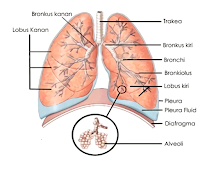 Hasil gambar untuk paru paru
