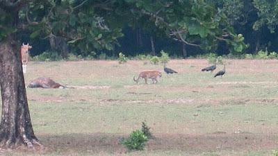 Tertangkap Fotonya, Harimau Jawa Diduga Belum Punah!