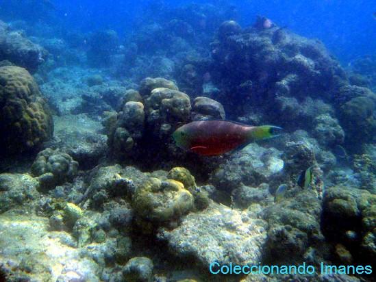 pez loro rojo y verde