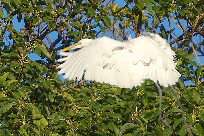 Great Egret landing in a tree