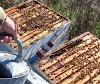 Γι αυτο η μελισσοκομία δεν πρόκειται να πάει ποτέ μπροστά...