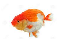 Jenis Ikan Koki Lionhead kepala singa