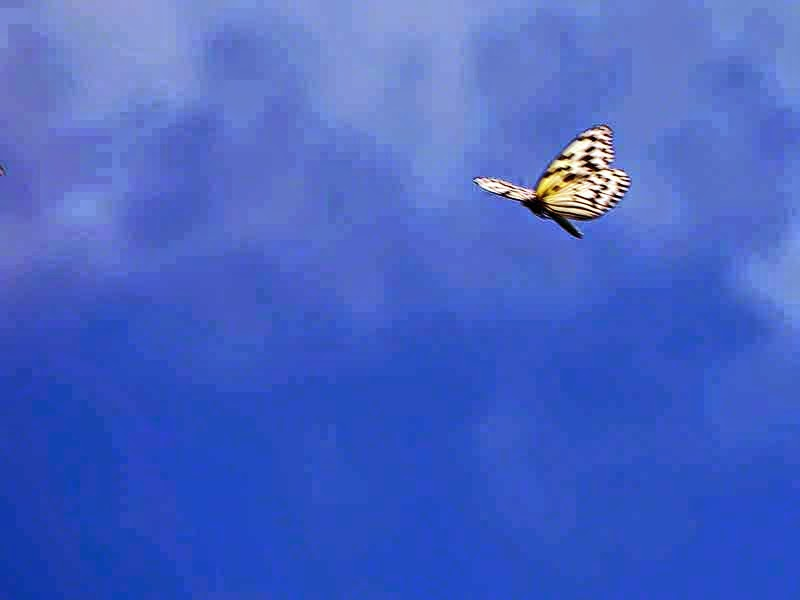 Idea leuconoe, Paper Kite Butterfly, in flight, blue skies