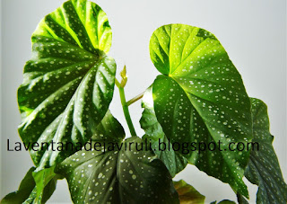 begonia-lucerna