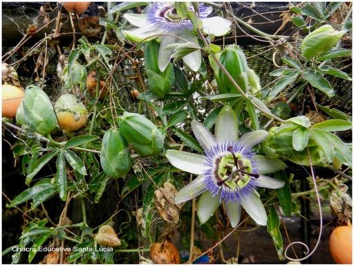 Flores y frutos maduros - Chacra Educativa Santa Lucía