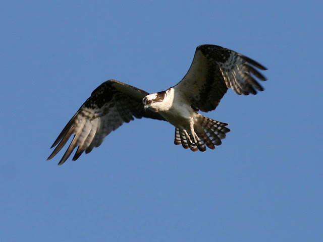 Figure 7: Ospreys characteristically arch their wings, holding their wrists forward and up, then hold their hand back and down, The long wings taper to rounded wingtips.