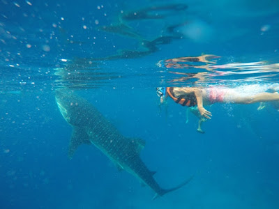 whaleshark whalesharks oslob, cebu, filipina, phillipines