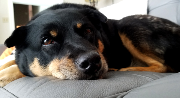 image of Zelda the Black and Tan Mutt lying on the couch, looking at me with big, sleepy brown eyes