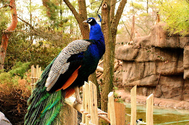 peacock-sitting-on-a-fence-list-trend