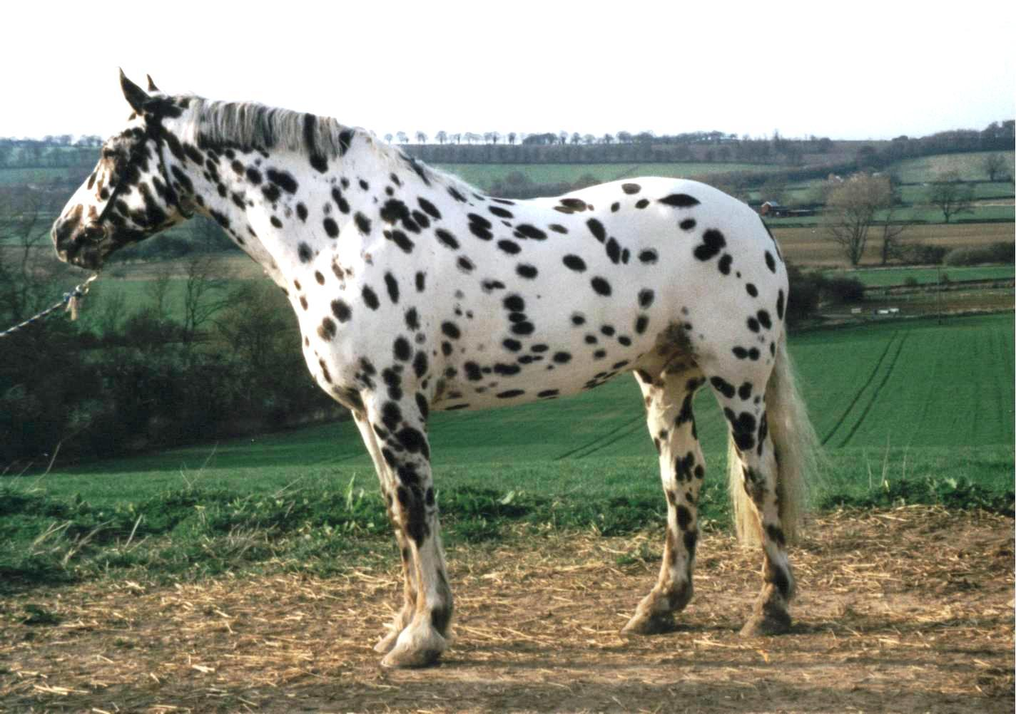 Horse Appaloosa: description, features of the breed, breeding 5