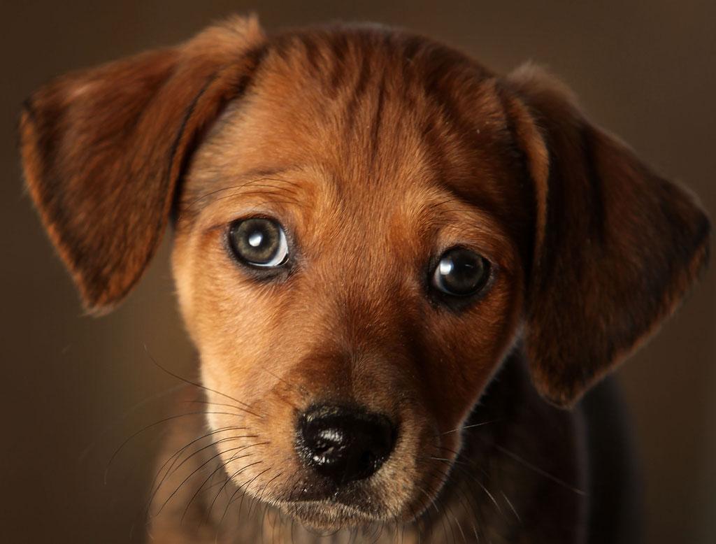cane che urina frequentemente dopo il prednisone