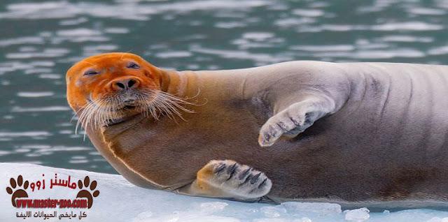 تعرف على حيوان أسد البحر  Sea Lion