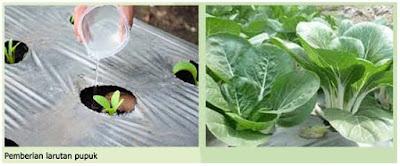 Bertanam Sayur Sawi Sebagai Sayur Yang Disukai Anak-Anak