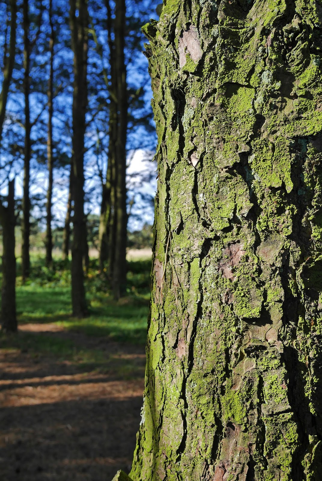 Close up of a tree in Ashdown Forest