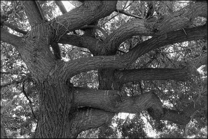 naturaleza,fotografia,arbol,melia,ramas,limites,valencia