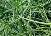 tanaman biopesitida