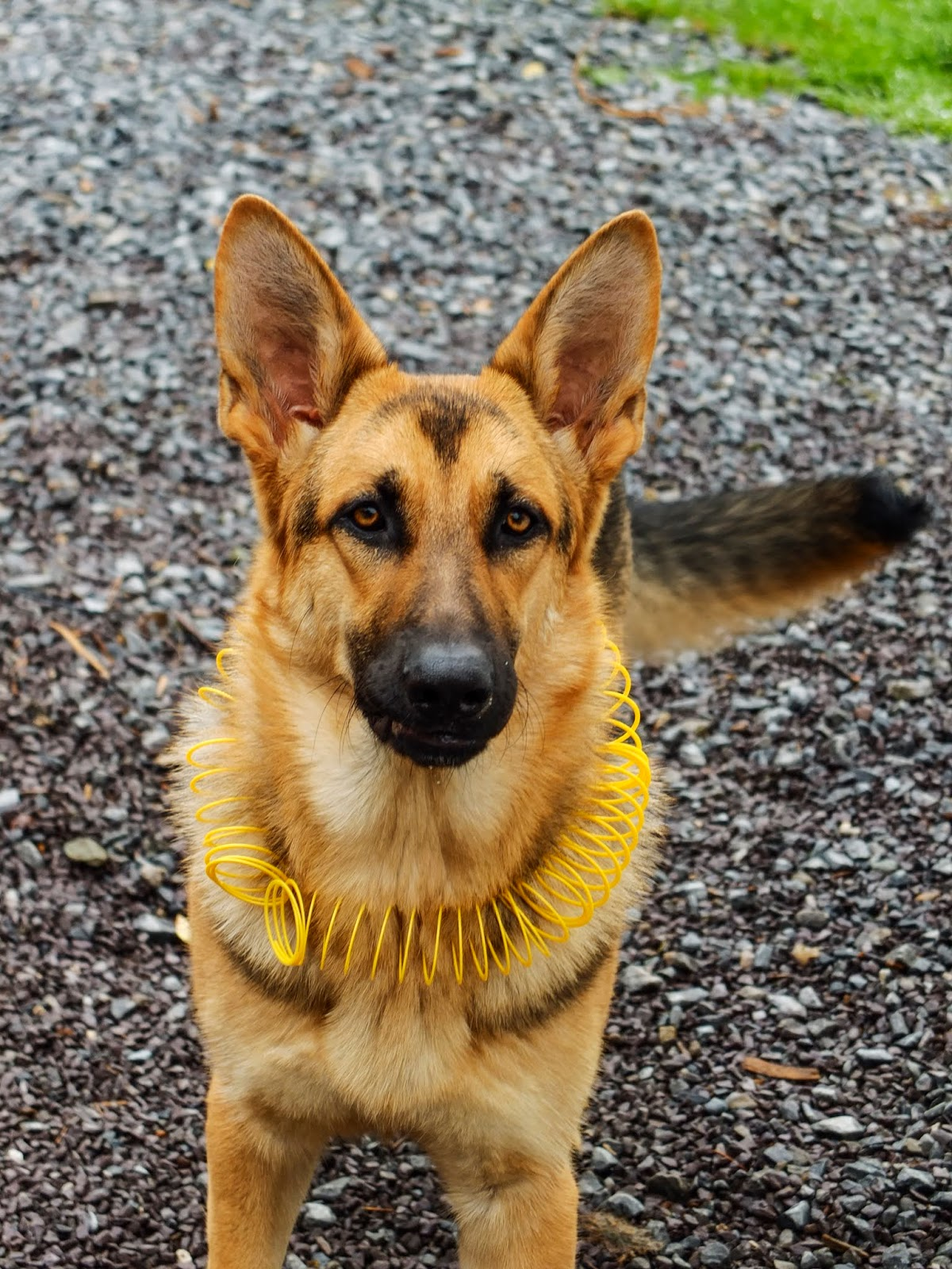 A 9 month old German Shepherd standing on gravel with a yellow slinky around her neck.