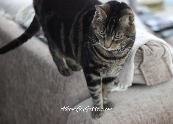 tabby cat standing on top of sofa