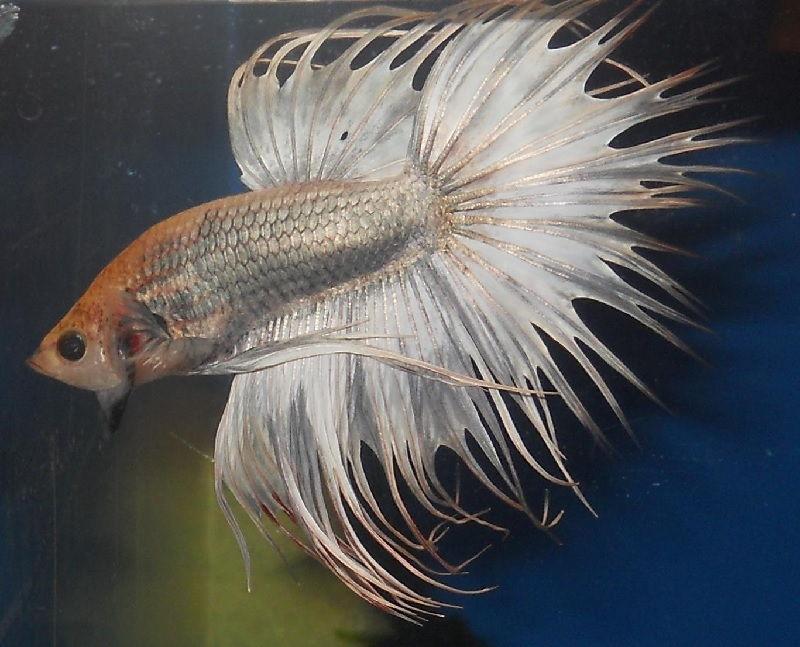 Gambar Ikan Hias Aquarium Tanpa Oksigen - Ikan Cupang