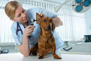 Dog Ear Infection - Symptoms and Treatments