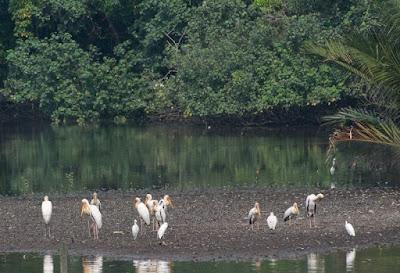 Milky Stork (Mycteria cinerea), Painted Stork (Mycteria leucocephala)
