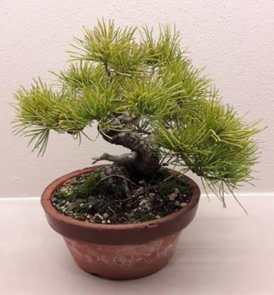 tipps und tricks bonsai club tirol. Black Bedroom Furniture Sets. Home Design Ideas