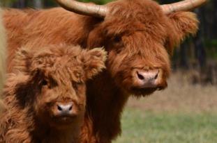 Highland Cow, Highland Cow for Sale, Highland Heifer, Highland Bull, Scottish Highland, Grass Fed Beef