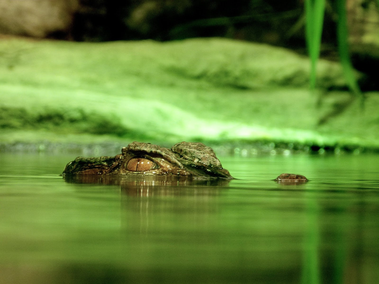 Picture of crocodile eyes on a river.