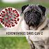 Czy pies może zarazić się koronawirusem i przenosić go?