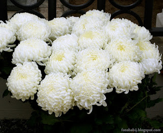 http://fotobabij.blogspot.com/2015/04/chryzantema-wielkokwiatowa-bilkis_12.html