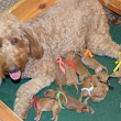 Available Goldendoodle Puppies!