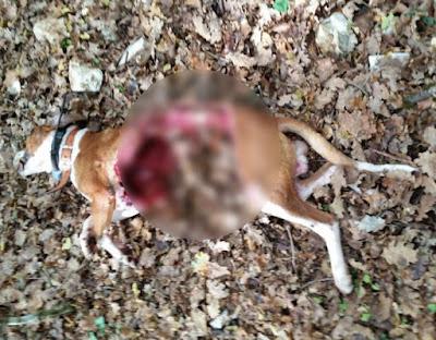 Γουρουνόσκυλο έπεσε θύμα της μανίας των λύκων