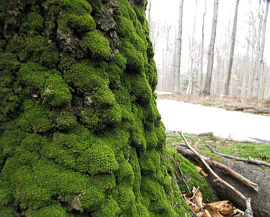Drzewo pokryte mchem przy runie leśnym.