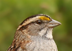 White-throated Sparrow head