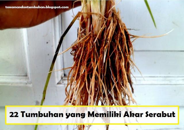 Tumbuhan yang Memiliki Akar Serabut