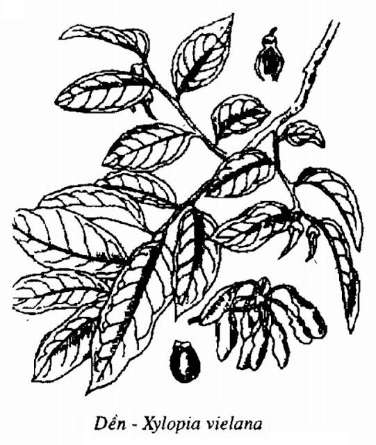 Hình vẽ Cây Dền - Xylopia vielana - Nguyên liệu làm thuốc Chữa Tê Thấp và Đau Nhức