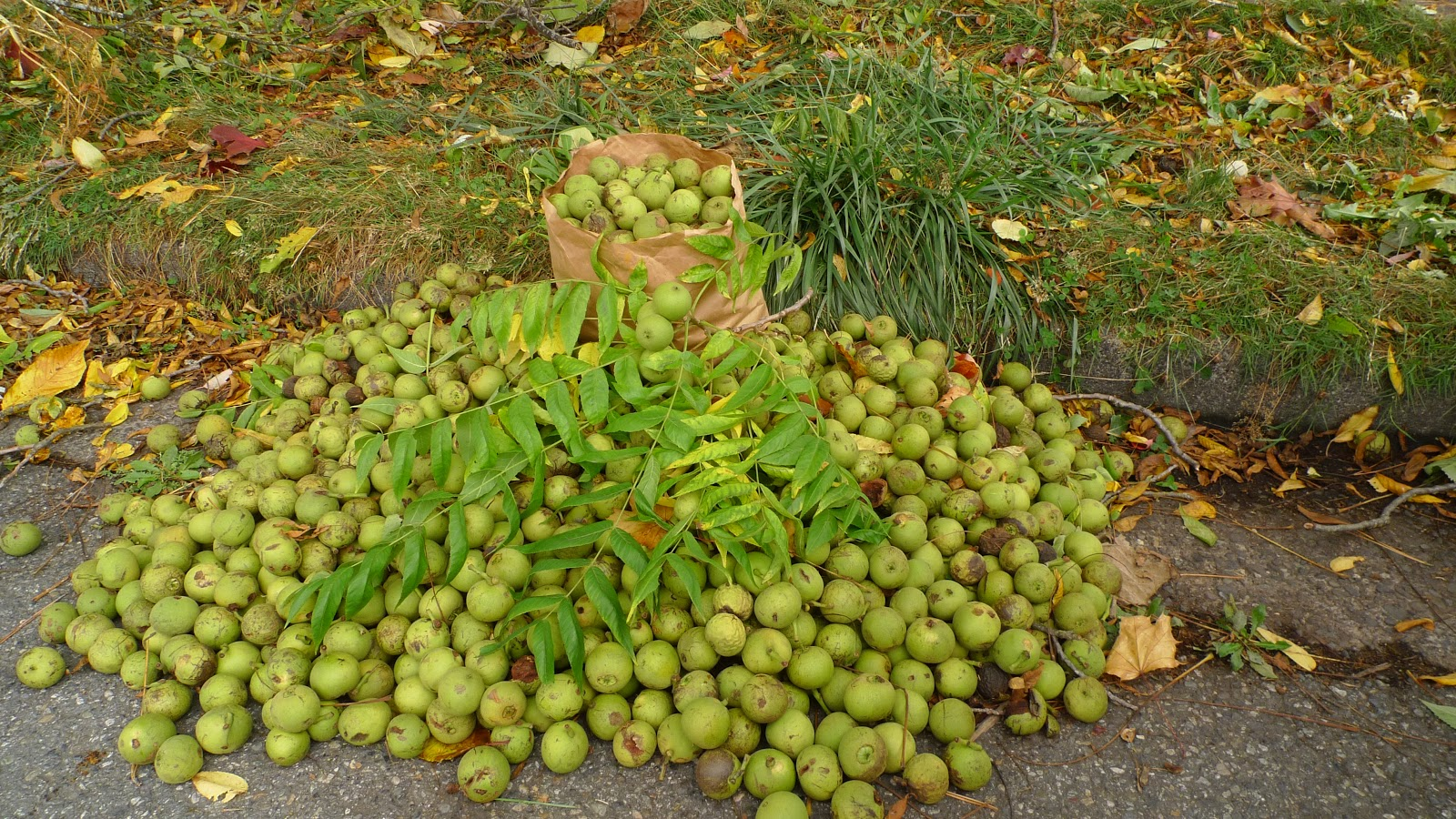 How to Harvest Black Walnuts 15 Steps with Pictures