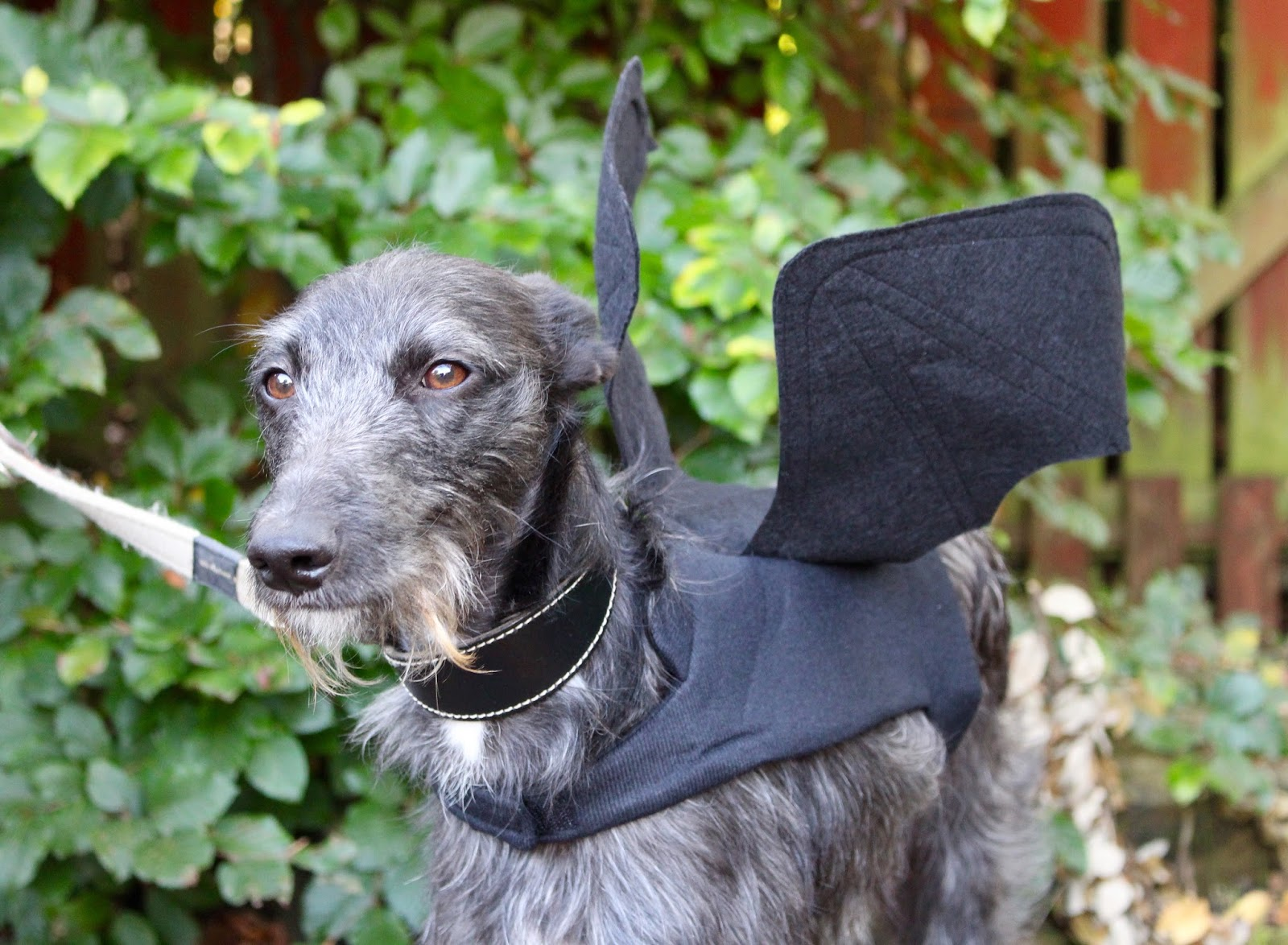 Dog dressed as a bat.